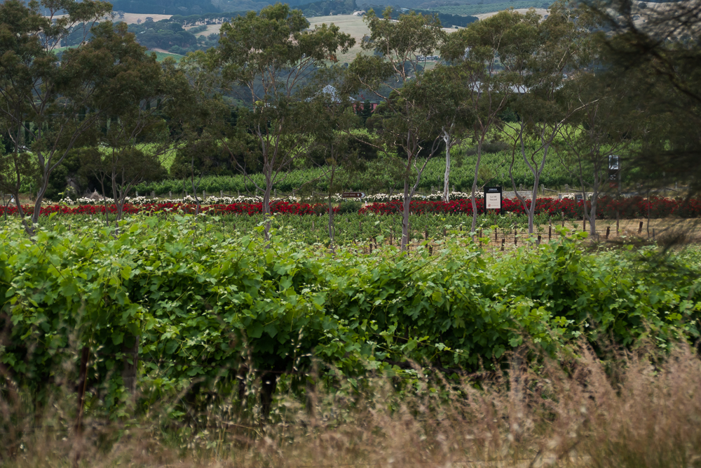 один мой день на пути Шираза в городе Аделаида, штат Южная Австралия, фото 59
